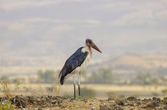Maraboeooievaar dichtbij droog meer in Ethiopië stock fotografie