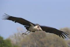 Maraboeooievaar het vliegen Royalty-vrije Stock Foto's