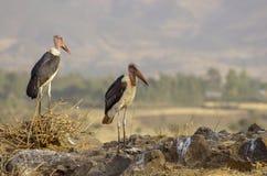 Maraboeooievaars dichtbij droog meer in Ethiopië stock foto