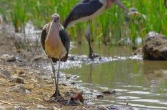 Maraboeooievaars dichtbij het meer in Ethiopië stock fotografie