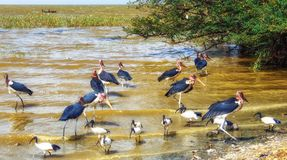 Maraboeooievaars dichtbij het meer in Ethiopi? stock foto