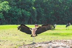 Marabou ο πελαργός είναι ανοικτά φτερά στο θερμό ήλιο Στοκ Φωτογραφία