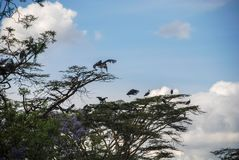 Marabou πελαργός στο Ναϊρόμπι Κένυα Αφρική Στοκ Εικόνες