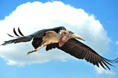 Marabou πετώντας μπλε ουρανός Στοκ Εικόνα