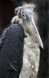marabou πουλιών Στοκ Εικόνα