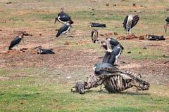 Marabou ест вокруг каркасного мертвого буйвола в парке Chobe Стоковая Фотография RF