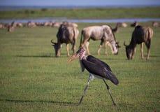 Marabou и антилопа гну Стоковое Фото