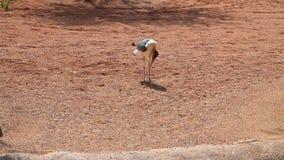 Marabou in. biopark, Valencia, Spain stock video