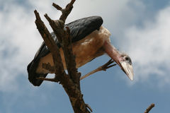 Marabou bird sitting on branch of dead tree and looks down. Royalty Free Stock Image