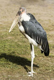 Marabou. The marabou bird is staying alone outdoors Stock Photography