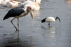 Marabou and black-headed ibis at lake Nakuru Royalty Free Stock Images
