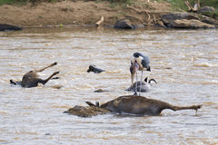 Marabou feasting on dead wildebeest Stock Photography