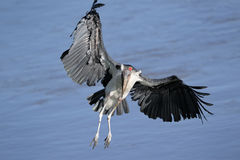 Marabou flying Stock Images