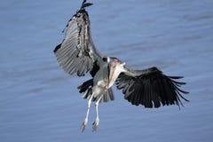 Marabou flying. Marabou Stork flying over the Mara river Stock Images