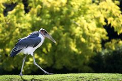 Marabou going on grass. Marabou stork of profile going on grass, greenery background Stock Photos