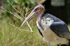 Marabou holding a twig in its beak Stock Image