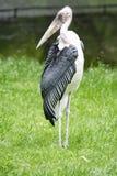 Marabou storck , scavenger bird, living in southern Africa royalty free stock image