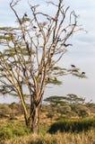 Marabou Stock Images