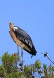 Marabou. At pine top in the national park Safari (Ramat Gan. Israel Stock Photos