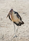 Marabou Stork. A Marabou Stork standing with one leg raised Stock Photos