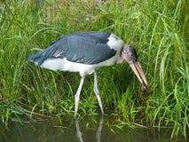 Marabou Stork. African Marabou Stork bird eating in pond Royalty Free Stock Photography