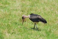 Marabou stork Stock Images