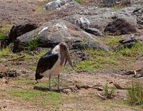Marabou Stork Stock Photography