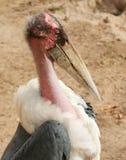 A Marabou Stork Stock Photography