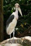 Marabou Stork. Wild Marabou Stork, Leptoptilos crumeniferus Royalty Free Stock Photo