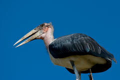 Marabou Stork. Against blue sky in Kruger National Park, South Africa Stock Photography