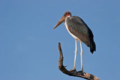 Marabou Stork. Against blue sky in Kruger National Park, South Africa Royalty Free Stock Image