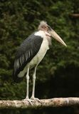 Marabou Stork. Portrait of a Maribou Stalk perched on a branch Royalty Free Stock Image