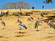 Marabou Stork. S gathered around the shores of Hawassa lake looking for leftover fish from the fishermen Royalty Free Stock Photos