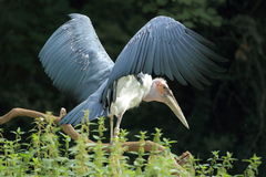 Marabou stork. The marabou stork waving its wings Royalty Free Stock Images
