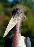 Marabou Stork. Close up of Marabou Stork Stock Photography