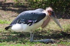 Marabou Stork. Sits in grassland Stock Photography