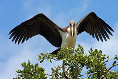 Marabou Stork. In tree with wings spread Stock Photography