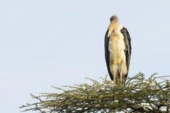 Marabou Stork on Acacia Royalty Free Stock Image
