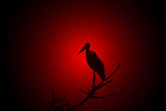 Marabou Stork - African Wild Bird Background - Glowing Red Nature Stock Images