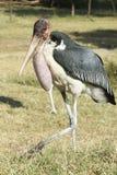 Marabou Stork, Awassa, Ethiopia, Africa Stock Images