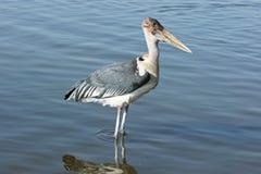 Marabou Stork, Awassa, Ethiopia, Africa Royalty Free Stock Photos