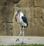 Marabou stork. A big marabou bird walking Royalty Free Stock Images