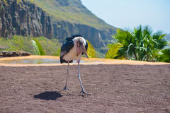 Marabou stork bird in birds of prey show at Palmitos Park in Maspalomas, Gran Canaria, Spain Royalty Free Stock Images
