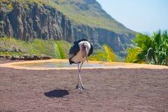 Marabou stork bird in birds of prey show at Palmitos Park in Maspalomas, Gran Canaria, Spain Stock Photography