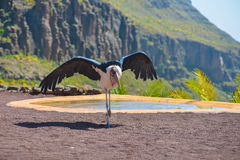 Marabou stork bird in birds of prey show at Palmitos Park in Maspalomas, Gran Canaria, Spain Royalty Free Stock Photo