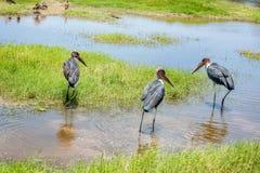 Marabou Stork bird in Kenya, Africa Stock Photo