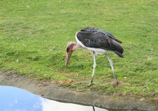 Marabou stork Stock Photo
