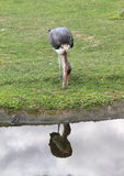 Marabou stork Royalty Free Stock Photo
