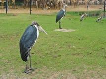 Marabou Stork. The marabou stork bird in Thailand Stock Images
