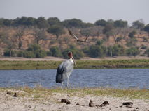 Marabou stork and  black-winged stilt in Chobe National Park Stock Photography